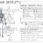 Klasa 7 – Budowa szkieletu osiowego – sketchnotka