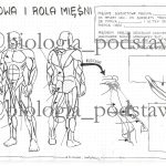 Klasa 7 – Szkielet kończyn i ich obręczy – sketchnotka